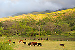 Cattle farming on the island of Molokai, Hawaii, USA