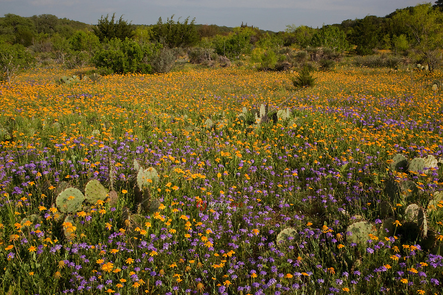 Yellow Daisy Flowers and purple Prairie Verbena paint a Texas Hill Country Wildflower Field in Mason County, Texas
