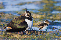 Northern Lapwing, Vanellus vanellus, adult with young, National Park Lake Neusiedl, Burgenland, Austria, Europe