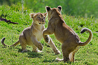 Playful African Lion (Panthera leo) cubs.