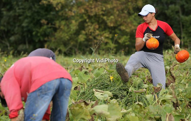 Foto: VidiPhoto<br /> <br /> HEEREWAARDEN - Poolse werknemers van akkerbouwer Tom Cruijsen VOF uit Dreumel, zijn maandag op een perceel in de uiterwaarden bij het Gelderse Heerewaarden begonnen met de oogst van 10 ha. pompoenen. De akkerbouwer werkt in opdracht van Jeroen Robbers van biologisch landbouwbedrijf De Terp, de grootste pompoenenteler van Nederland. De groente is bestemd voor de supermarkten van Albert Heijn. De populariteit van pompoenen als consumptiegroente stijgt nog steeds, waardoor ook de vraag toeneemt.