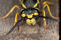Deutsche Wespe, Portrait, Porträt, Vespula germanica, Vespa germanica, Paravespula germanica, German wasp, European wasp