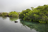 GALAPAGOS ISLANDS, ECUADOR, mangroves located inside of Elisabeth Bay on Isabela Island