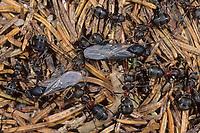 Waldameise, Rote Waldameise, Arbeiterinnen gemeinsam mit geflügelten Männchen, Formica rufa, wood ant, Wood Ants