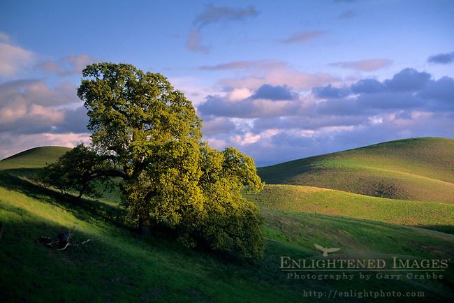 Oak tree and green hills in spring, Morgan Territory / Tassajara region, Contra Costa County, CALIFORNIA