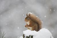 Red squirrel (Sciurus vulgaris) in winter forest, Cairngorms National Park, Scotland