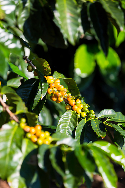 Caturra Arabica Coffee growing on Rusty's Hawaiian Coffee, known as cherry, growing on the coffee farm in an area called Cloud Rest in the district of Ka'u on the Big Island of Hawaii, USA, America