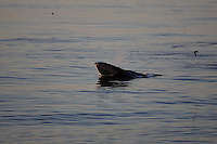 Humpback whale Megaptera novaeangliae lunge feeding at  the surface at sunset. 82N Kvitoya, Arctic Ocean