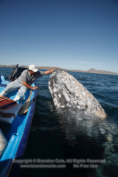 pr7208-D. Gray Whale (Eschrichtius robustus) spyhopping alongside boat. Magdalena Bay, Baja, Mexico..Photo Copyright © Brandon Cole. All rights reserved worldwide.  www.brandoncole.com..This photo is NOT free. It is NOT in the public domain. This photo is a Copyrighted Work, registered with the US Copyright Office. .Rights to reproduction of photograph granted only upon payment in full of agreed upon licensing fee. Any use of this photo prior to such payment is an infringement of copyright and punishable by fines up to  $150,000 USD...Brandon Cole.MARINE PHOTOGRAPHY.http://www.brandoncole.com.email: brandoncole@msn.com.4917 N. Boeing Rd..Spokane Valley, WA  99206  USA.tel: 509-535-3489