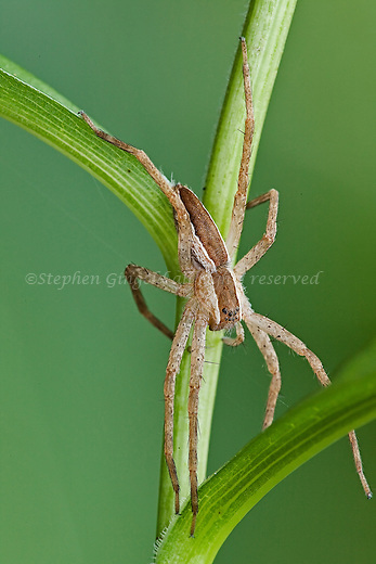 A Nursery Web spider hanging on a blade of grass.