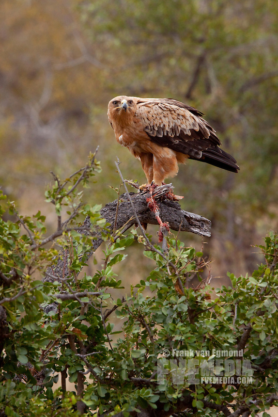 Tawny Eagle (Aquila Rapax) with a Helmeted Guineafowl as prey (Numida Meleagris)..June 2009, winter..Balule Private Nature Reserve, York section..Greater Kruger National Park, Limpopo, South Africa.