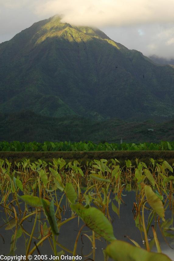Morning light on the Hanalei Mountain Range with Taro plants in the foreground on the island of Kauai, Hawaii.