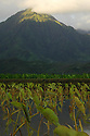 Morning light on the Hanalei Mountain Range with Taro plants in the foreground on the island of Kauai, Hawaii.