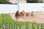 Firies Patsy (No 1) winner of the second race in the upcoming event N2/N3 525Yds at Kingdom Greyhound Stadium, Tralee, on Saturday night..