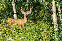 DEER- CRESTED BUTTE HIGH COUNTRY- COLORADO