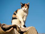 Tortoiseshell & White Cat, sitting on roof, Sierra Morena, Andalucia, Spain