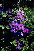Clematis Gypsy Queen aka Gipsy Queen, perennial flowering vine in rich purple plum colors