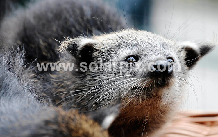 **ALL ROUND PICTURES FROM SOLARPIX.COM**.**SYNDICATION RIGHTS FOR UK AND SPAIN ONLY**.Four Binturong-babies, also known as the Asian Bearcat, the Palawan Bearcat, or simply the Bearcat,  sitting in a basket at the Berlin Zoo. Vincent and Fiona are the parents of the Binturong quadruplet babies (three male and one female) who were born on May 16th 2009. Berlin Zoo, Berlin, Germany. 21 July 2009..This pic: Binturong quadruplets..JOB REF: 9549 CPR (Loos) .DATE: 21_07_2009.**MUST CREDIT SOLARPIX.COM OR DOUBLE FEE WILL BE CHARGED**.**ONLINE USAGE FEE GBP 50.00 PER PICTURE - NOTIFICATION OF USAGE TO PHOTO @ SOLARPIX.COM**.**CALL SOLARPIX : +34 952 811 768 or LOW RATE FROM UK 0844 617 7637**