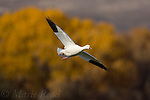 Snow Goose (Chen caerulescens), adult white  form, in flight in autumn, Bosque Del Apache National Wildlife Refuge, New Mexico, USA