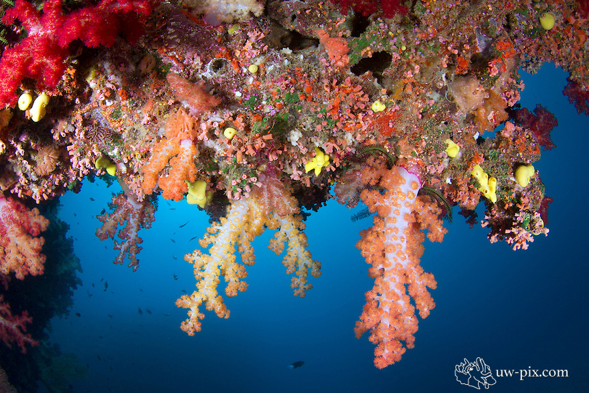 Hanging soft coral Dendronephthya in the Beqa lagoon / FIJI