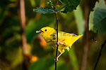 American yellow warbler - 1st year