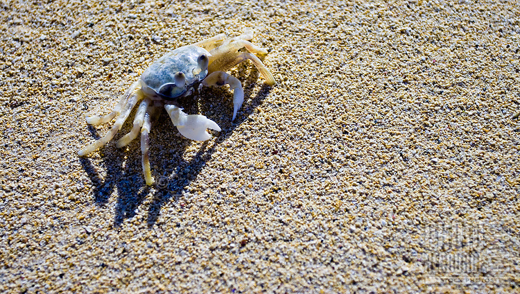 A ghost crab (Ocypode quadrata) warily observes, waiting for the right time to flee for its burrow.