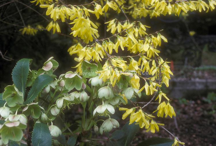 Forsythia suspensa Nymans in yellow flowers with Helleborus argutifolius hellebore plant combination for spring bloom (GR21231)