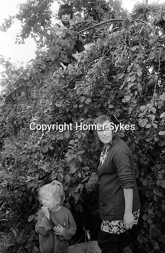 Gypsy family, casual seasonal fruit picking Wisbech Cambridgeshire UK. Family mother daughter and father up apple tree.