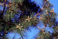PINECONES<br /> Female Ponderosa Pine Cones<br /> Pinaceae, Pinus ponderosa Acadia National Park