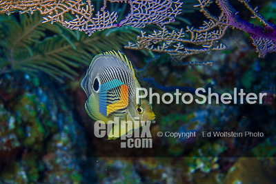 10 June 2015: A Foureye Butterflyfish (Chaetodon capistratus) swims along the outcroppings at Lemon Reef, on the North Shore of Grand Cayman Island. Located in the British West Indies in the Caribbean, the Cayman Islands are renowned for excellent scuba diving, snorkeling, beaches and banking.  Mandatory Credit: Ed Wolfstein Photo *** RAW (NEF) Image File Available ***
