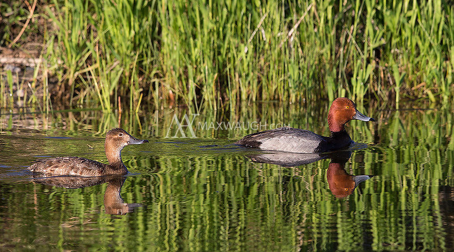 My first photo of a Redhead duck (male and female).