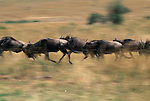 A herd of wildebeest run across a plain in Masai Mara, Kenya.