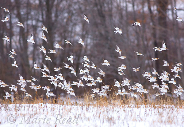 Snow Buntings (Plectrophenax nivalis) flock in flight over snow-covered fields in winter, New York, USA