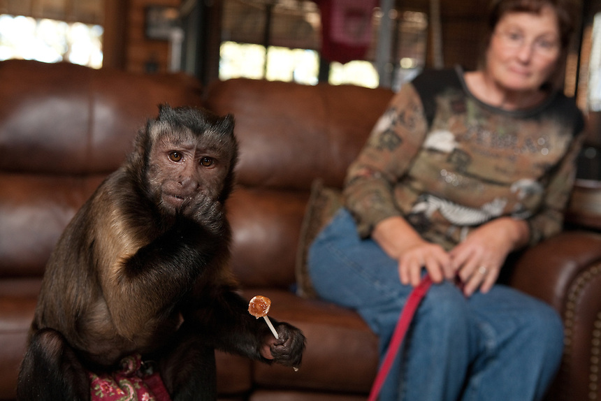 Mikki, a Black Cap Capuchin monkey, eats candy.  Dave and Sandy Viguers live with monkeys at their home outside of Lampasas, Texas.  February 22, 2009.