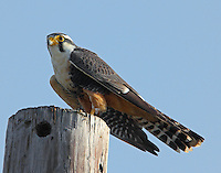 Adult aplomado falcon. This rare falcon has been reintroduced to the wild at Laguna Atascosa NWR.