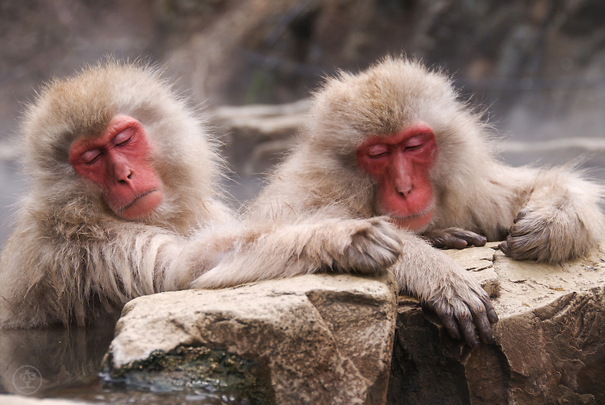 Snow monkeys, or Japanese macaques, relaxing in the hot springs bath at Jigokudani Yaen Koen, Nagano, Japan.