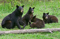 Black Bear family sitting and lying by a fallen log