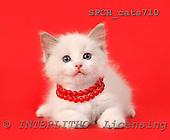 Xavier, ANIMALS, cats, photos, SPCHCATS710,#A# Katzen, gatos