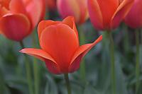 Tulip Festival, Skagit Valley, Washington