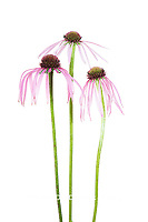 30099-00605 Pale Purple Coneflowers (Echinacea pallida) (high key white background)  Marion Co. IL