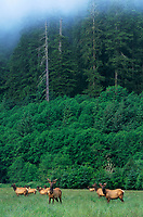 628773015 a wild herd of roosevelt elk cervus canadensis roosevelti forage in a grassy meadow with overhangning fog blurring immense fir trees surrounding the meadow in prairie creek redwoods state park californai