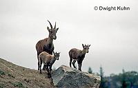 MA34-001z   Alpine Ibex - Capra ibex