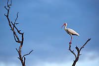 A white ibis (Eudocimus albus) perched on a dead tree in Holbox, Mexico.