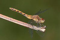 Cherry-faced Meadowhawk (Sympetrum internum) Dragonfly - Female, West Harrison, Westchester County, New York