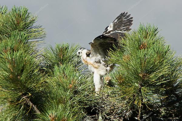 Short-tailed Hawk (Buteo brachyurus) nestling, exercising in nest, preparing to fledge; Arizona (Nesting Record)