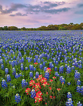 Hays County, Texas Hill Country: Indian paintbrush (Castilleja indivisa) in a sea of bluebonnets (Lupinus texensis) in a field at dusk