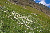 Großglockner, Glockner, Alpen, Nationalpark Hohe Tauern, Alpen-Wiese, Alpenwiese, Blumenwiese, Bergwiese mit Alpenblumen. Grossglockner, Alps, Austria