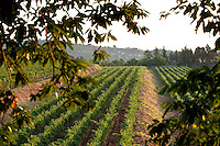 Vineyards at Tenuta San Michele, Zafferana Etnea, Mt Etna, Sicily