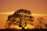 Europe, DEU, Germany, Northrhine Westphalia, Lower Rhine, Voerde, Typical Willow tree in Winter, Sunset....[ For each utilisation of my images my General Terms and Conditions are mandatory. Usage only against use message and proof. Download of my General Terms and Conditions under http://www.image-box.com or ask for sending. A clearance before usage is necessary...Material is subject to royalties. Each utilisation of my images is subject to a fee in accordance to the present valid MFM-List...Contact | archive@image-box.com | www.image-box.com ]