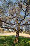 Acacia Albida trees in Tel Shimron on the borderline of Jezreel Valley and the Lower Galilee, Israel<br />